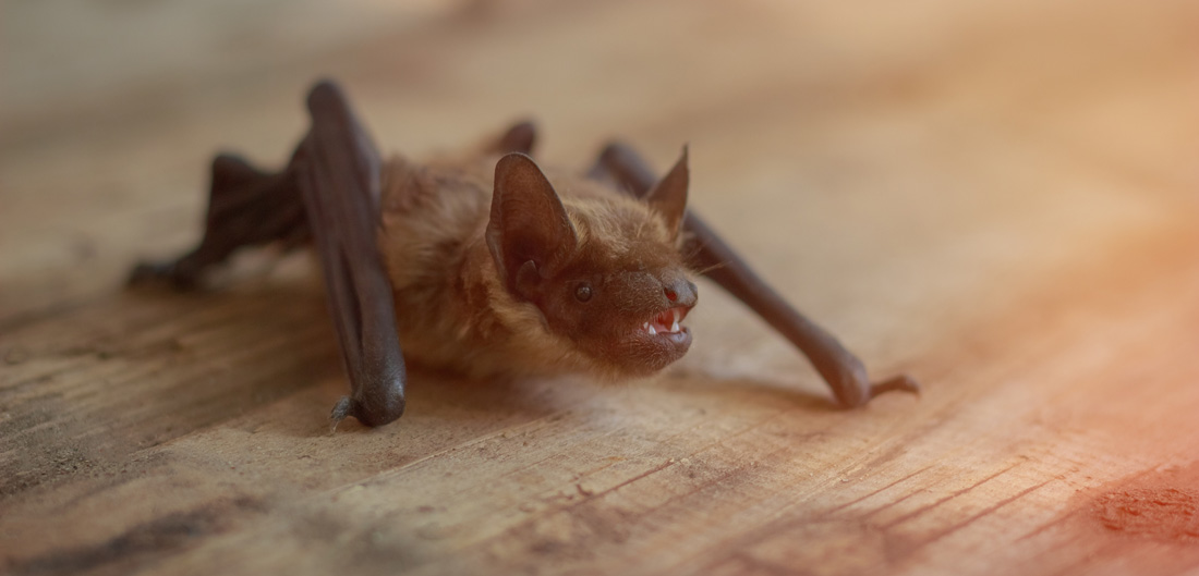 small bat clings to wood floor
