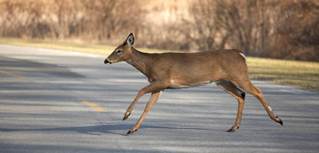 deer runs across road