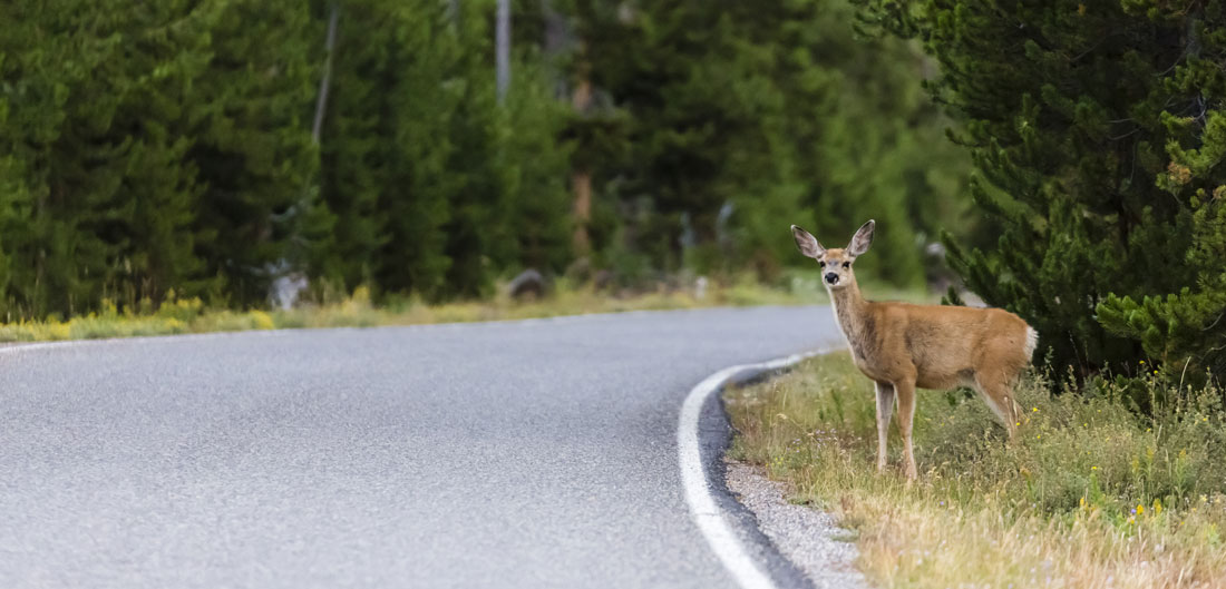 alert deer stands on side of road