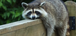 raccoon lays on deck railing